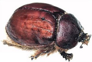 Apparently this is not a Female cochineal beetle, 5mm long, ground up is used as a red dye in food and cosmetics, but a scarab beetle. Cochineal are scale insects. For those entomologists that wrote nasty emails to me condemning me, may you have a lifelong case of phthirus pubis.
