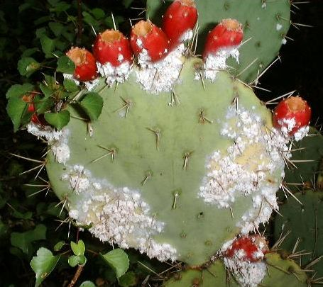 Cochineal beetles exude a sticky white substance. Female beetles suck juice out of cactus