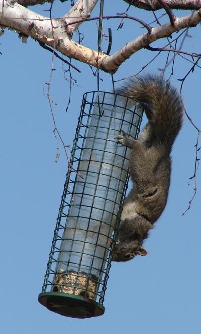 Squirrel hangs upside down to eat birdseed