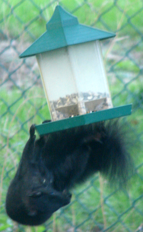 Immature brown squirrel does acrobatics to eat my birdfeed. Get fat already.