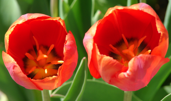 A red tulip duo on display. Where are the bees when you need them?
