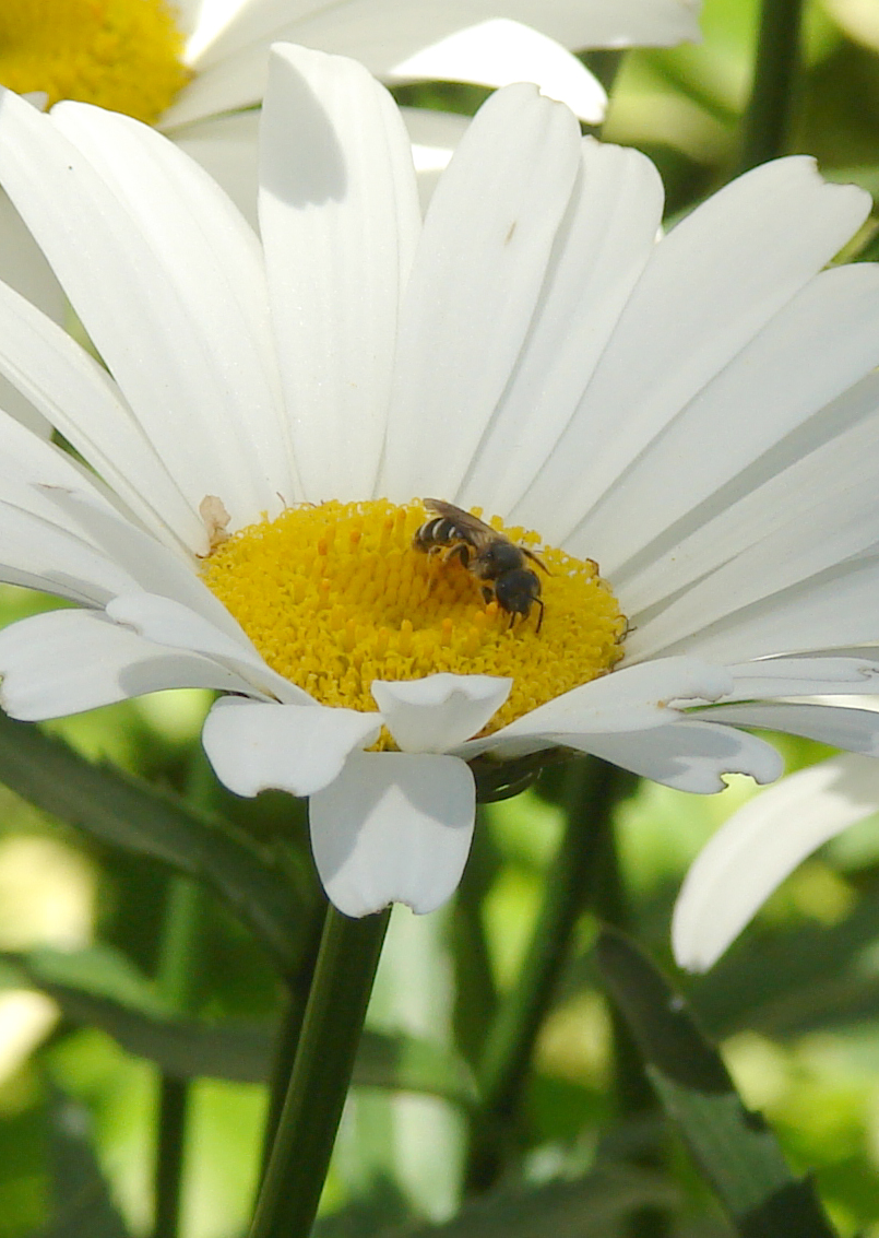Honey Bee on Shasta daisy 3, Toronto, Canada