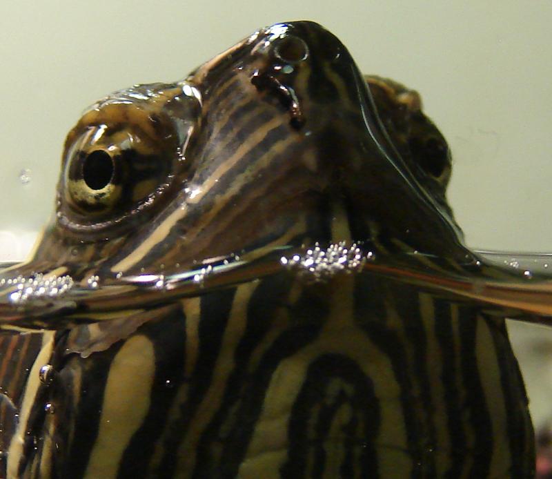 Midland Painted Turtle, Head, Toronto, ON, Canada
