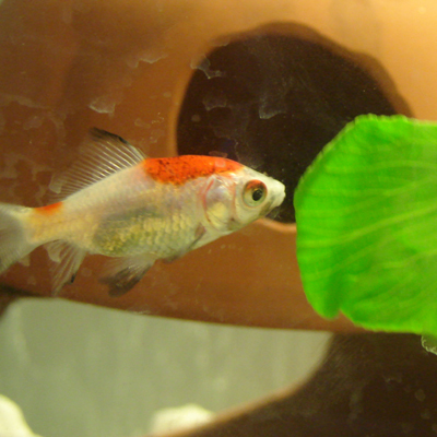 Feeder goldfish, after quarantine, make excellent fish. Seen here eating Chinese veggies. Photo by Don Tai