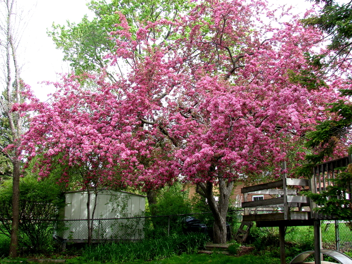 2016 Crab Apple Tree, male, a couple of days before full bloom. Toronto, Ontario, Canada. Photo by Don Tai