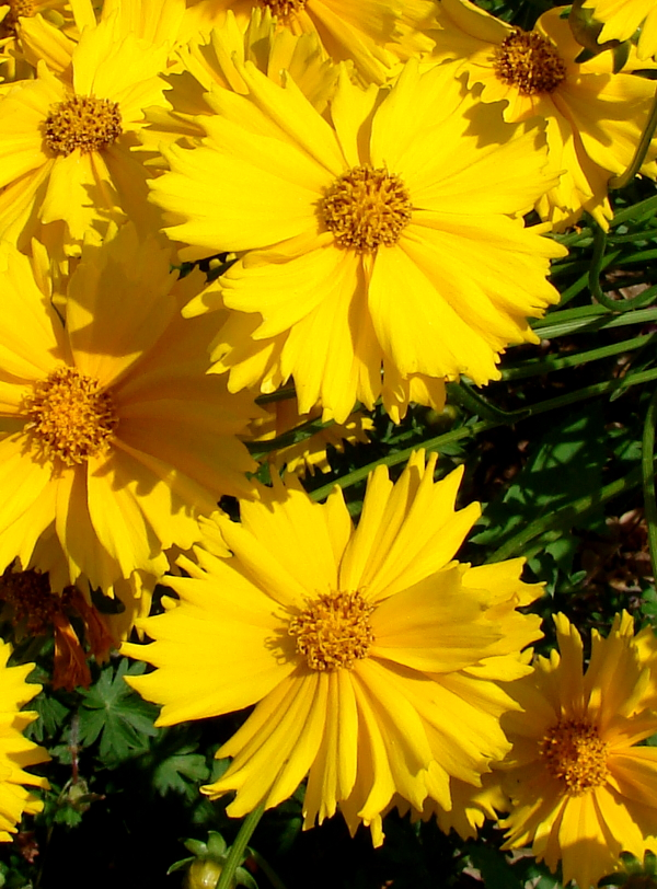 Yellow Lance leaved coreopsis in bloom, Toronto, Canada. Photo 1 by Don Tai