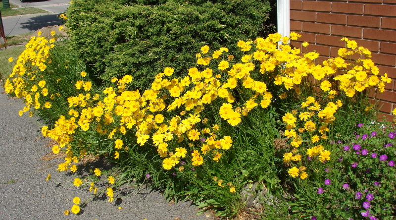 Yellow Lance leaved coreopsis in Toronto, Canada, beside the Purple Cransbill geraniums. Photo 2 by Don Tai