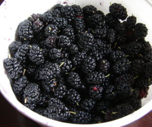Black mulberry fruit, Toronto, Canada, are messy to pick but delicious. Photo 1 by Don Tai
