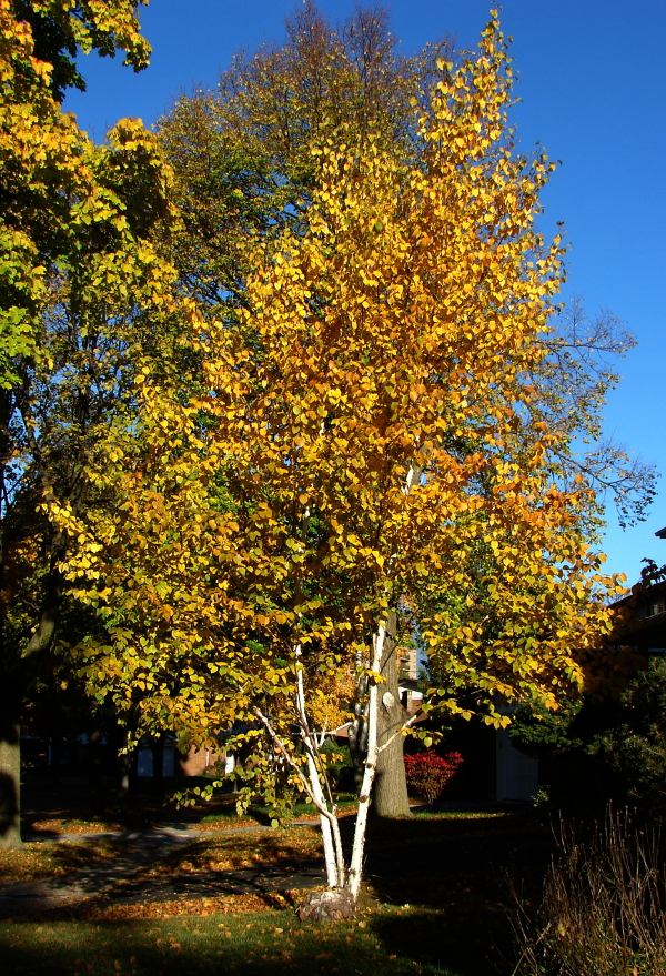 Birch Tree in Autumn, leaves turned yellow. Toronto, Canada 秋天桦树的叶子变成黄。