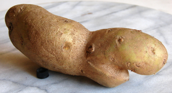 Hippopotamus potato. This creature came out of a bag of naturally imperfect potatoes, bought at NoFrills. Toronto, Canada. Photo by Don Tai