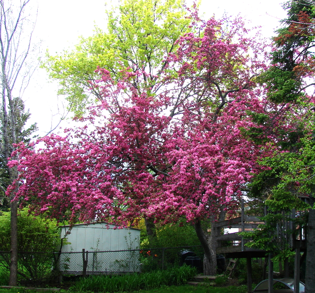 Pink crabapple tree in bloom, 2017, Toronto, Canada. Photo by Don Tai