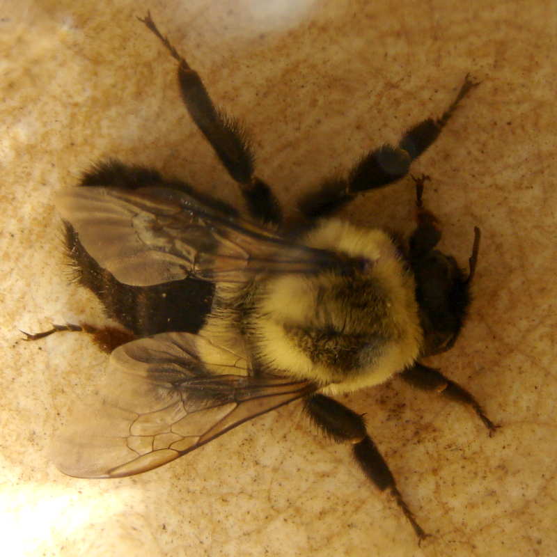 Bumble bee, Toronto, Canada, 2 cm long, in cup. Photo by Don Tai